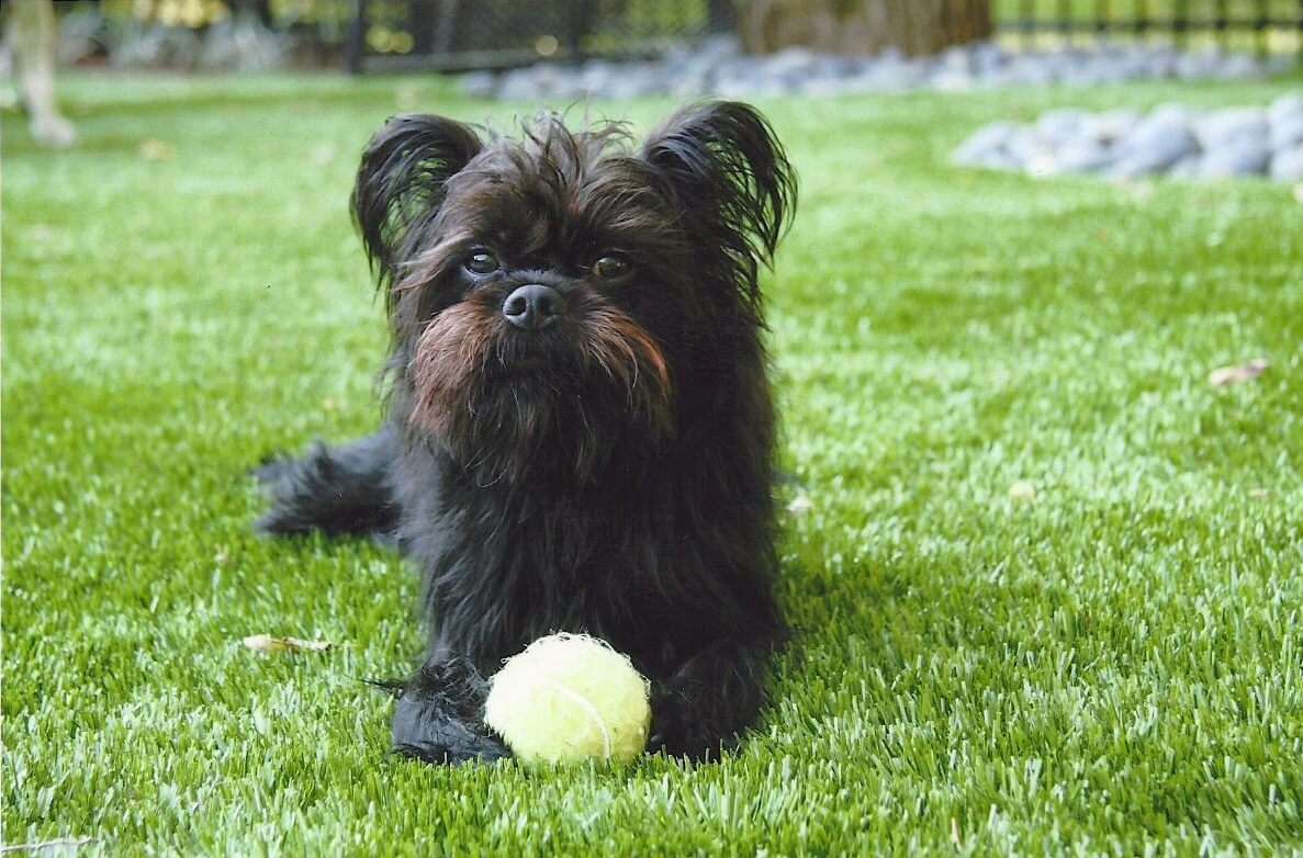 Brussels Griffon lying on artificial landscape grass in Missouri