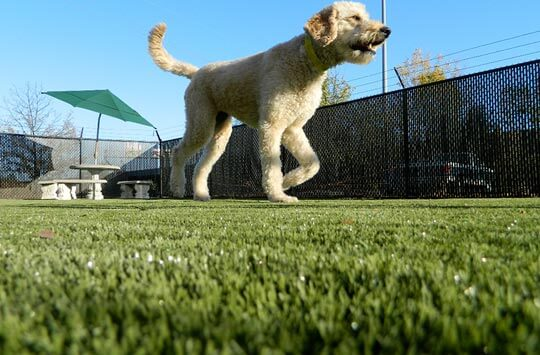 Goldendoodle running on yard turf for dogs in Missouri