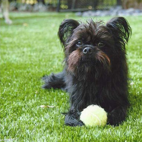 A Little Dog Relaxes With His Ball On SYNLawn Pet Turf in Missouri